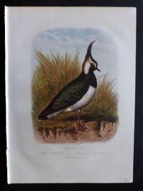 Jones & Cassell 1869 Antique Bird Print. Lapwing